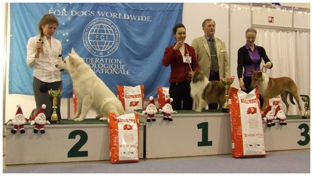 White shepherd Gabe winnig BIG-2 in the show ring
