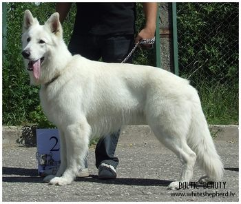 White shepherd North Pole Baltic Beauty